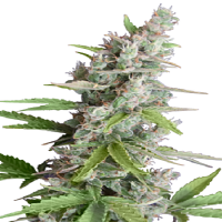 Bulk Seeds White Widow x AK Feminized