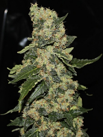 Green Label Seeds Berry Delight Feminised
