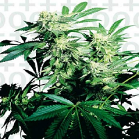 Sensi Seeds Skunk Kush Feminized