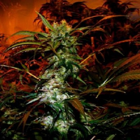 VIP Seeds VIP Haze Feminised (PICK N MIX)