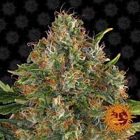 Barney's Farm Seeds G13 Haze™ Regular