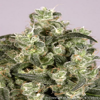 Dutch Passion Seeds Mekong High Feminized