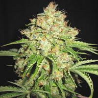 Bulk Seeds Auto White Russian Feminized