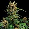 Dinafem Seeds California Hash Plant Feminized (PICK N MIX)