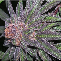Ken Estes Grand Daddy Purple Seeds Purple Wreck Regular