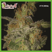 Dr Krippling Seeds The Incredible Bulk Auto Feminized (PICK N MIX)