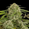 Dinafem Seeds White Widow Auto Feminised
