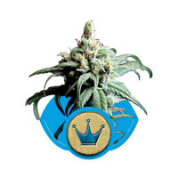 Royal Queen Seeds Royal Highness Feminized