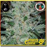 Big Buddha Seeds Freeze Cheese '89 Feminized