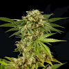 Dinafem Seeds Kush n Cheese Feminised
