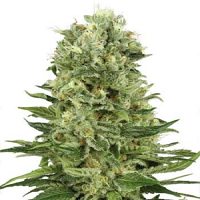 White Label Seed Company Skunk Automatic Feminized