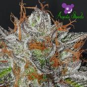 Bruce Banner # 3 - Feminized - Anesia Seeds