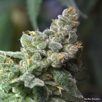 NorStar Genetics Seeds Queen of Hearts Regular