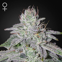 Green House Seeds Franco's Lemon Cheese Feminized