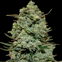 Barney's Farm Seeds Cookies Kush Feminized