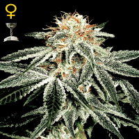 Green House Seeds White Widow Feminised