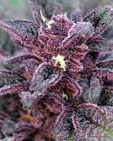 NorStar Genetics Seeds Big City Lights Regular