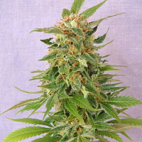 Kannabia Seeds Ginger Punch Auto Feminized