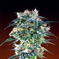 Ken Estes Grand Daddy Purple Seeds Bay 11 Regular