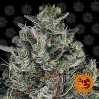 Barney's Farm Seeds Glookies Feminized