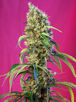 Sweet Seeds Black Jack CBD® Feminized