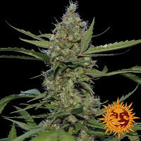 Barney's Farm Seeds Laughing Buddha Feminized