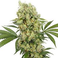 Medikit CBD - Feminized - Buddha Seeds