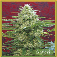Mandala Seeds Satori Regular
