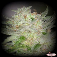 Sin City Seeds White Nightmare Regular