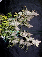 Sensible Seeds Premium Selection The King in the North Auto Feminized