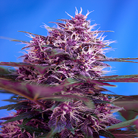 Sweet Seeds Auto Red Poison Feminized