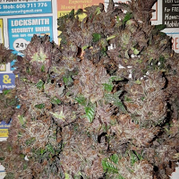 Bulk Exclusive Seeds Phantom Cookies Domina Feminized