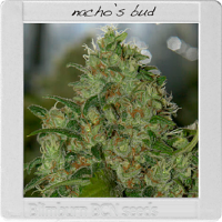 Blimburn Seeds Blimburn Bcn Range Nacho's Bud Feminised PICK N MIX