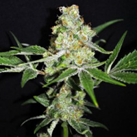CBD Crew Oudoor Mix Feminized