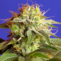 Sweet Seeds Green Poison Feminized