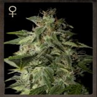 Strain Hunters Seeds Afgooey Feminized