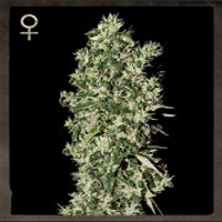 Strain Hunters Seeds Big Tooth Feminized
