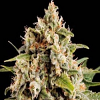 BlimBurn Seeds Orca Feminised