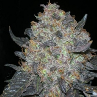 Cali Connection Seeds Blackwater Feminized