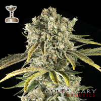 Apothecary Genetics Seeds Tahoe O.G. Regular