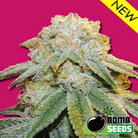Bomb Seeds Bubble Bomb Feminized