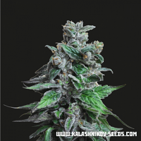 Kalashnikov Seeds Moscow Blueberry Feminized
