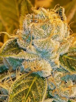 Ripper Seeds Sour Ripper Feminized (PICK N MIX)