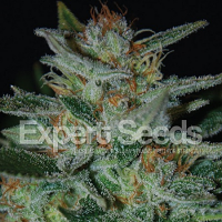 Expert Seeds Blue Cheese (AKA Blue Funk) Feminized