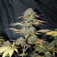 Seedsman Seeds Auto UK Cheese Feminized