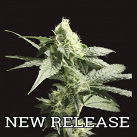 Devil's Harvest Seeds Golden Haze Feminized