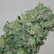 Flashberry - Regular - Mandala Seeds