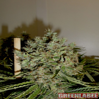 Green Label Seeds Big Jack Feminised