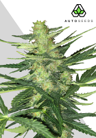 Auto Seeds Polar Express Auto Feminised