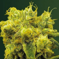 Victory Seeds Blow Dream Feminized